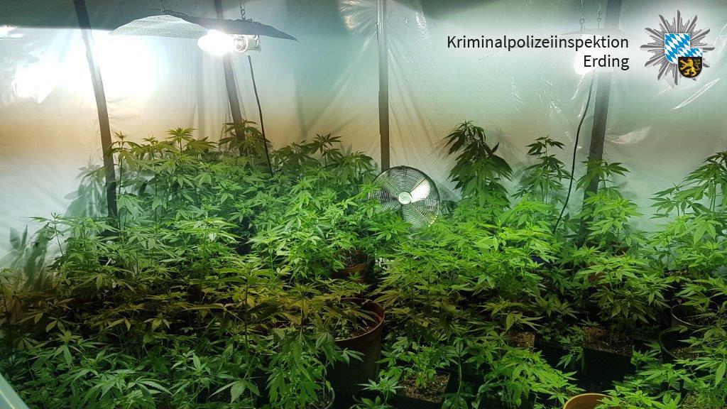 128 Cannabis Pflanzen in Wohnung entdeckt Polizei Erding deckt in Freising auf. Polizeibericht.